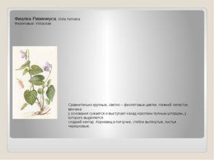 Фиалка Ривиниуса. Viola riviniana Фиалковые: Violaceae Сравнительно крупные,
