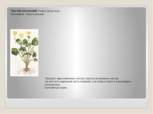 Чистяк весенний. Ficaria verna Huds Лютиковые: Ranunculaceae Образует единооб