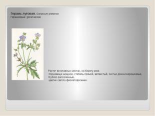 Герань луговая. Geranium pretense Гераниевые: geraniaceae Растет во влажных м