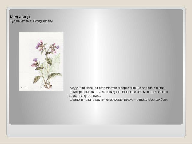 Медуница. Бурачниковые: Boraginaceae Медуница неясная встречается в парке в к...