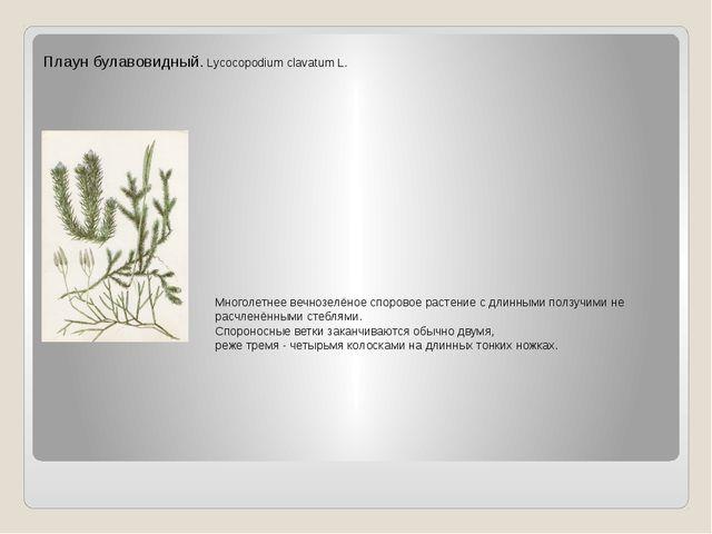 Плаун булавовидный. Lycocopodium clavatum L. Многолетнее вечнозелёное спорово...