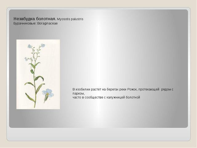 Незабудка болотная. Myosotis palustris Бурачниковые: Boraginaceae В изобилии...