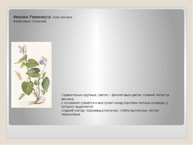 Фиалка Ривиниуса. Viola riviniana Фиалковые: Violaceae Сравнительно крупные,...
