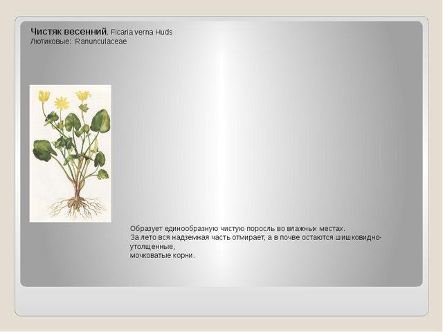 Чистяк весенний. Ficaria verna Huds Лютиковые: Ranunculaceae Образует единооб...