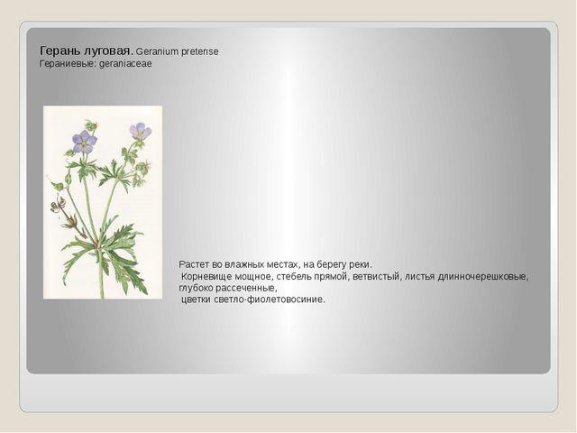 Герань луговая. Geranium pretense Гераниевые: geraniaceae Растет во влажных м...