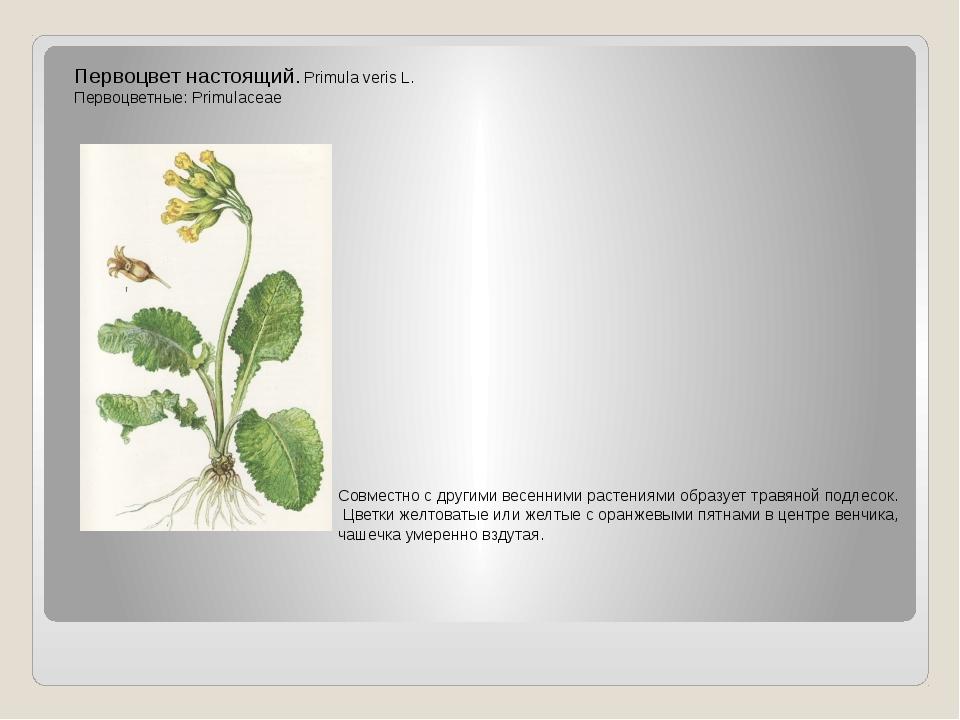 Первоцвет настоящий. Primula veris L. Первоцветные: Primulaceae Совместно с д...