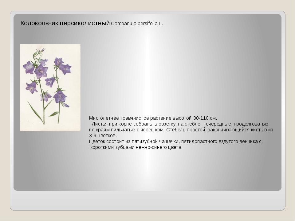 Колокольчик персиколистный Campanula persifolia L. Многолетнее травянистое ра...