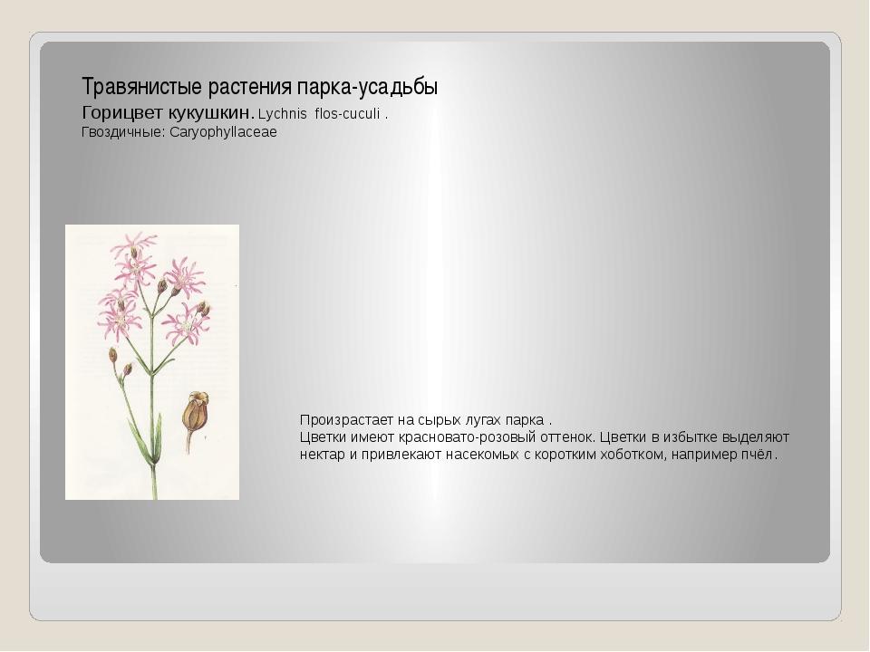 Травянистые растения парка-усадьбы Горицвет кукушкин. Lychnis flos-cuculi . Г...