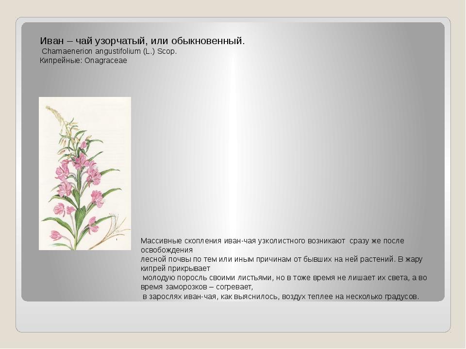 Иван – чай узорчатый, или обыкновенный. Chamaenerion angustifolium (L.) Scop....