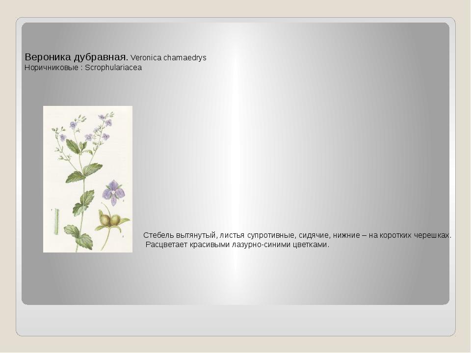 Вероника дубравная. Veronica chamaedrys Норичниковые : Scrophulariacea Стебел...