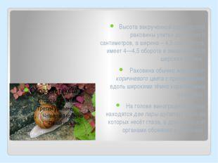 Высота закрученной шаровидной раковины улитки достигает 5 сантиметров, а шири