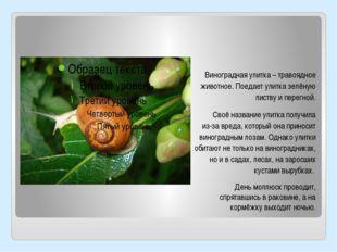 Виноградная улитка – травоядное животное. Поедает улитка зелёную листву и пер