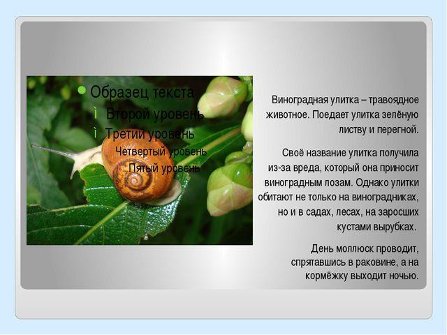 Виноградная улитка – травоядное животное. Поедает улитка зелёную листву и пер...