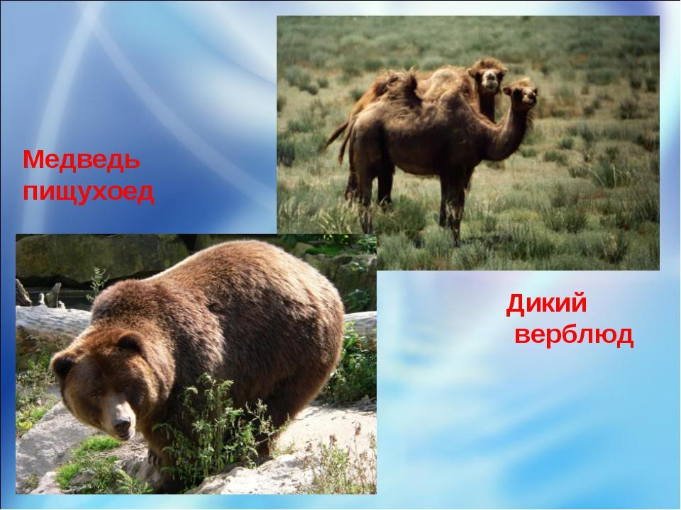 Медведь пищухоед Дикий верблюд
