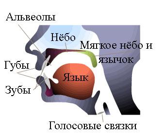 Активные органы речи