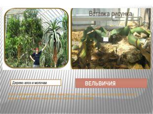 ВЕЛЬВИЧИЯ Ствол, напоминающий толстый пень, вырастает до 50 см, зато два его