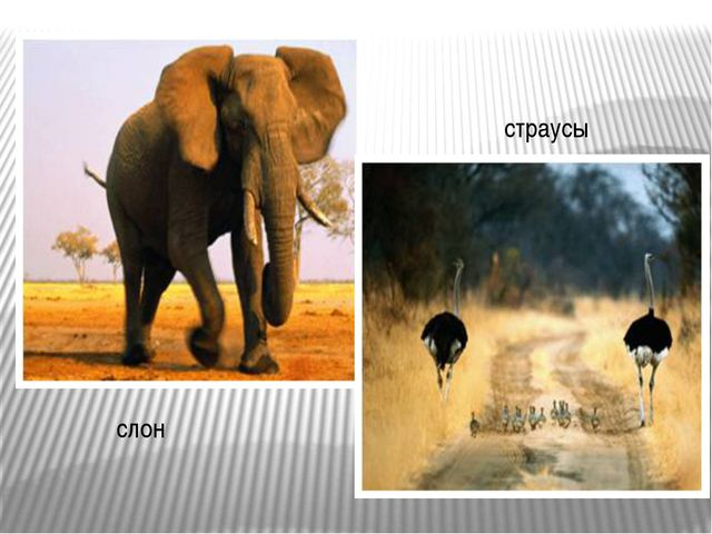 слон страусы