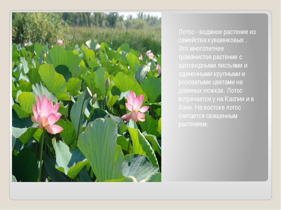 Лотос - водяное растение из семейства кувшинковых . Это многолетнее травянист...