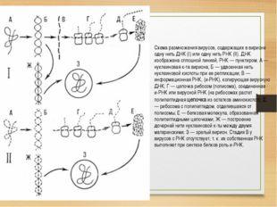 Схема размножения вирусов, содержащих в вирионе одну нить ДНК (I) или одну ни