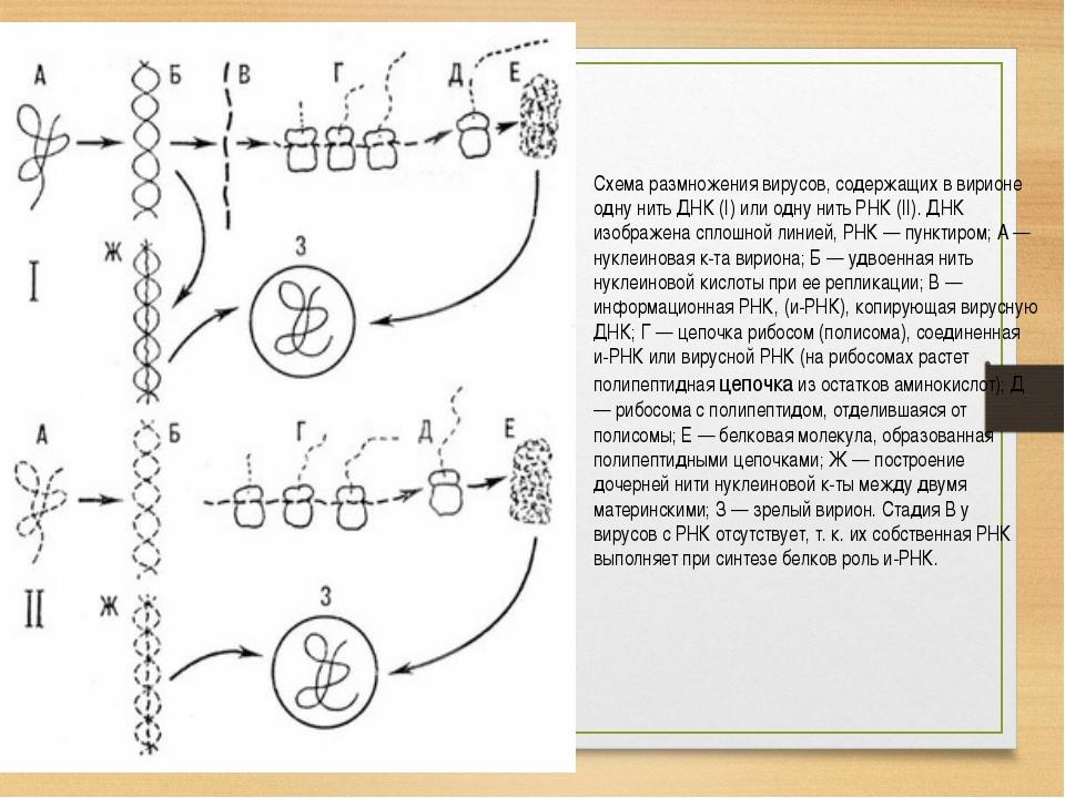 Схема размножения вирусов, содержащих в вирионе одну нить ДНК (I) или одну ни...