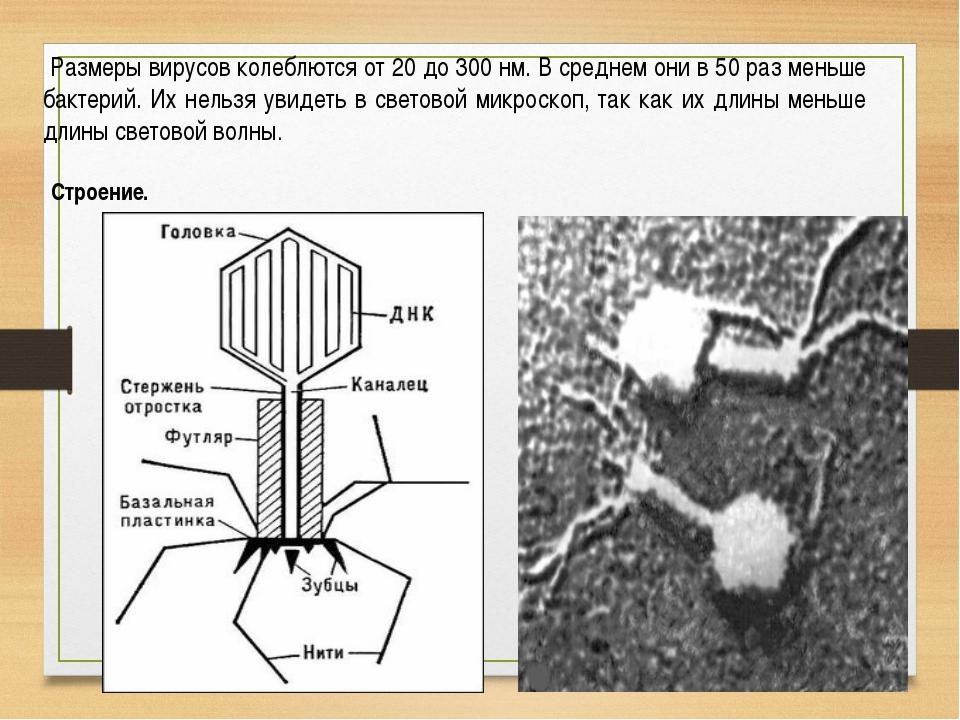 Размеры вирусов колеблются от 20 до 300 нм. В среднем они в 50 раз меньше ба...