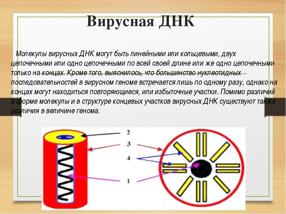 Вирусная ДНК Молекулы вирусных ДНК могут быть линейными или кольцевыми, двух...
