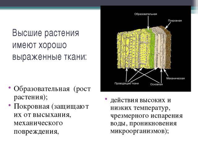 Высшие растения имеют хорошо выраженные ткани: Образовательная (рост растения...