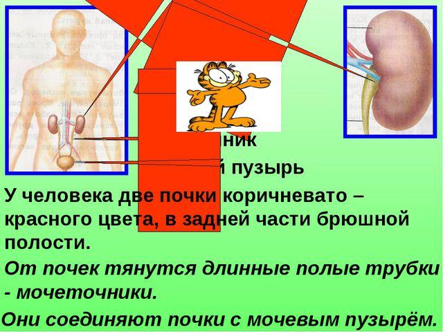 Почки Мочеточник Мочевой пузырь У человека две почки коричневато – красного ц...