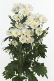 http://go4.imgsmail.ru/imgpreview?key=http%3A//flowersfamily.ru/userfiles/flowers/Chr%2520Tr%2520Monaco.JPG&mb=imgdb_preview_662