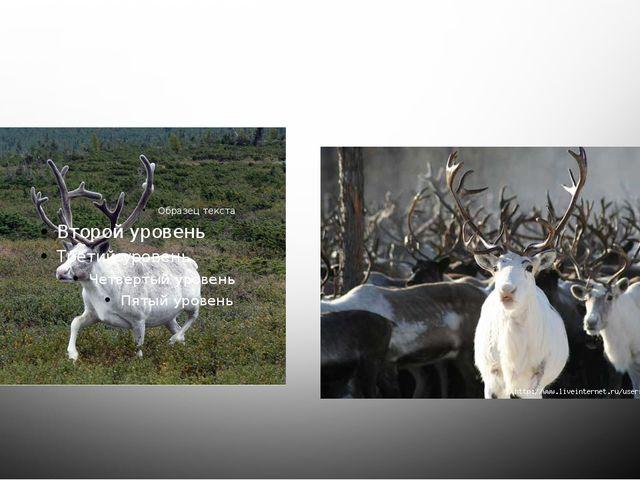 Белый олень - «символ света». По древнему преданию, белый олень считался свящ...