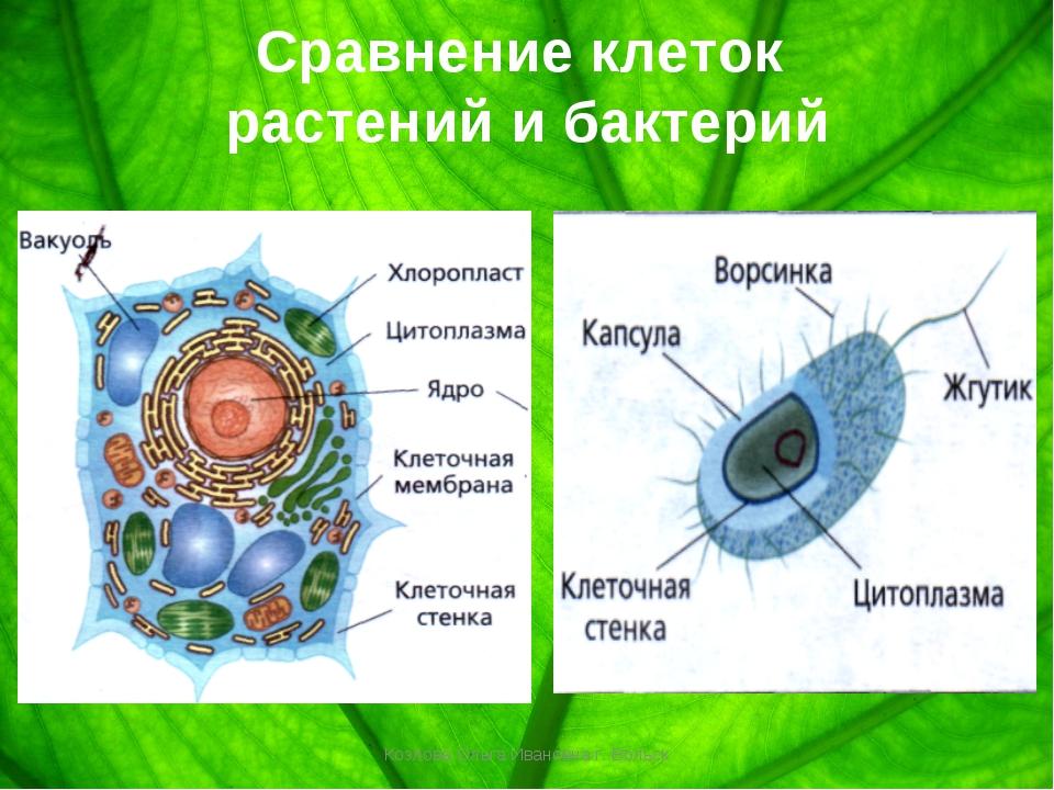 Сравнение клеток растений и бактерий Козлова Ольга Ивановна г. Вольск Козлова...