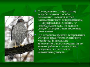 Среди дневных хищных птиц ястребы занимают особое положение. Большой ястреб,