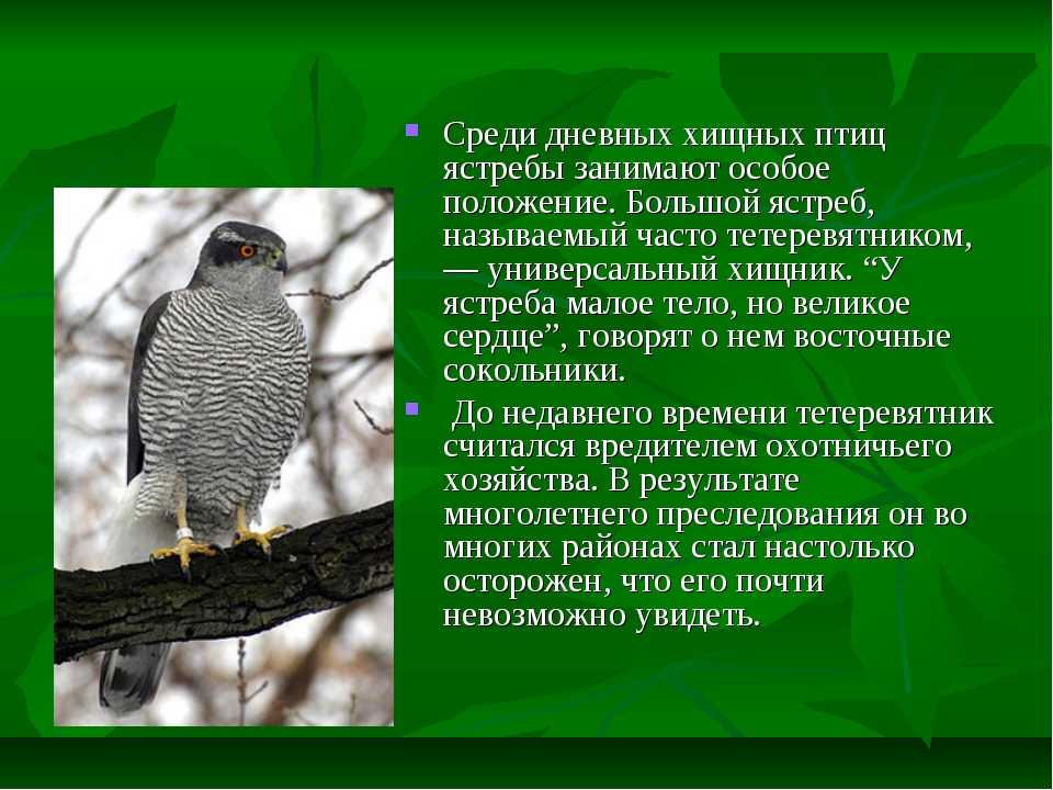 Среди дневных хищных птиц ястребы занимают особое положение. Большой ястреб,...