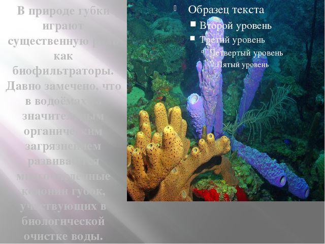 В природе губки играют существенную роль как биофильтраторы. Давно замечено,...