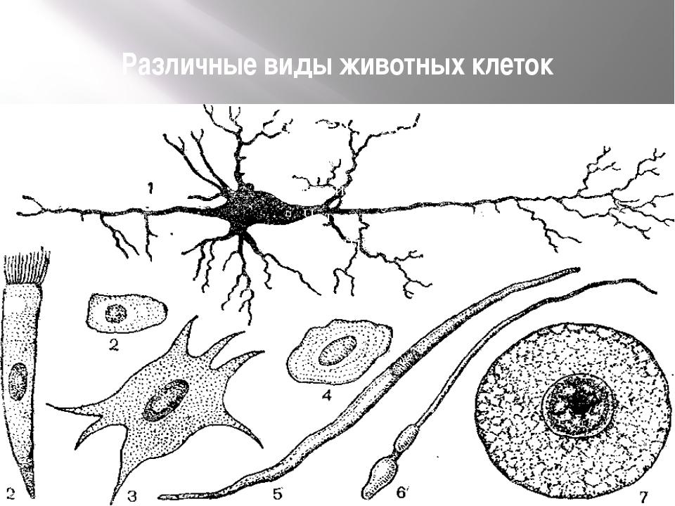 Различные виды животных клеток