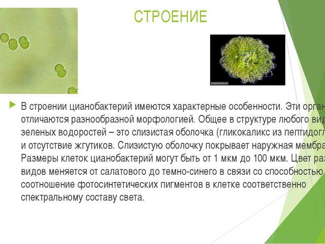 СТРОЕНИЕ В строении цианобактерий имеются характерные особенности. Эти органи...