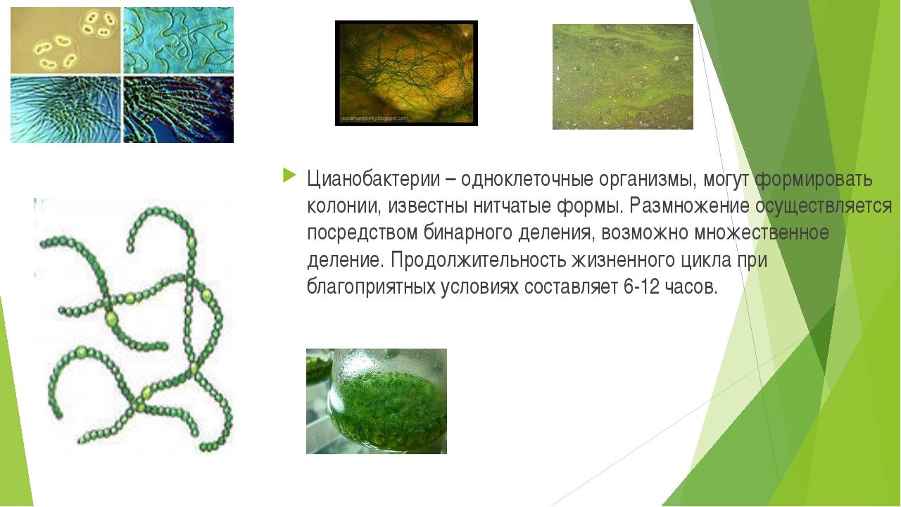 Цианобактерии – одноклеточные организмы, могут формировать колонии, известны...