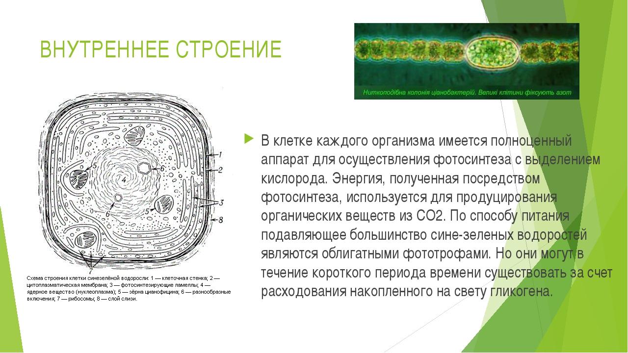 ВНУТРЕННЕЕ СТРОЕНИЕ В клетке каждого организма имеется полноценный аппарат дл...