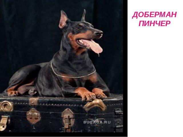 ДОБЕРМАН ПИНЧЕР