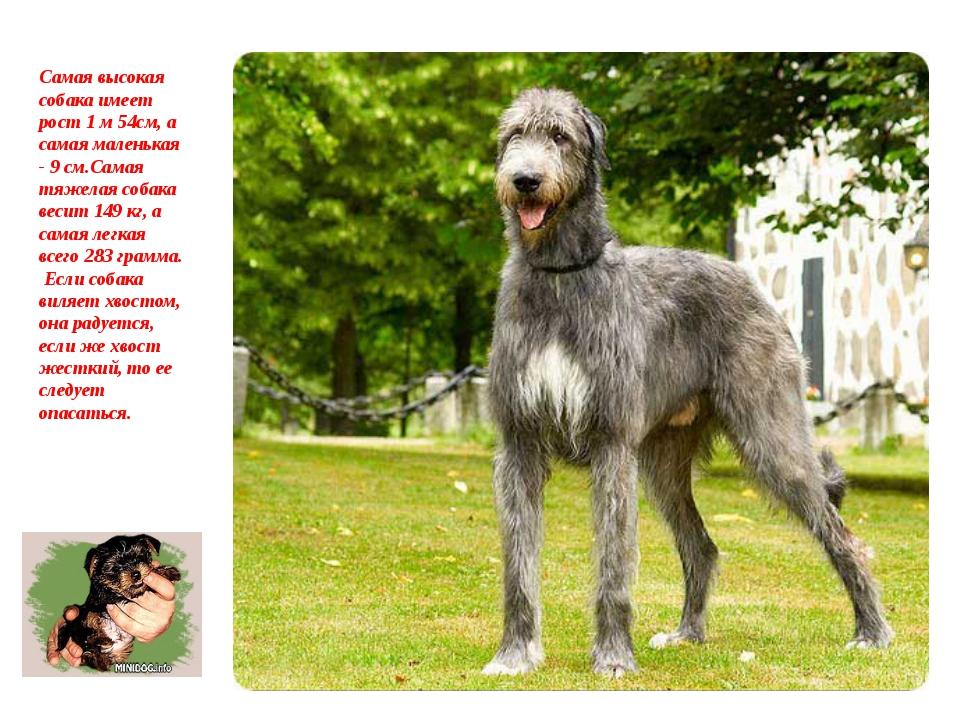 Самая высокая собака имеет рост 1 м 54см, а самая маленькая - 9 см.Самая тяж...