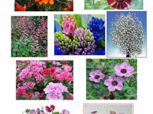 Цветы на букву г : гацания, гелениум, гейхера, гиацинт, гипсофила, гоцедия, г