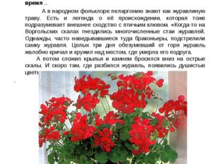 """Пеларгония. Название этого растения происходит от древнегреческого """"pelagros"""""""