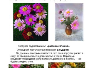 Пиретрум розовый, или Персидская ромашка Растение пиретрум очень похож на ро