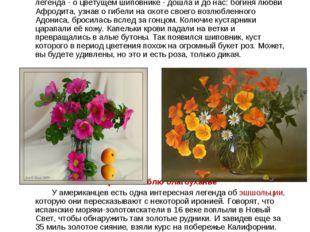 Шиповник – дикая роза Во дни роскошного расцвета, Когда приходит жар и зной,