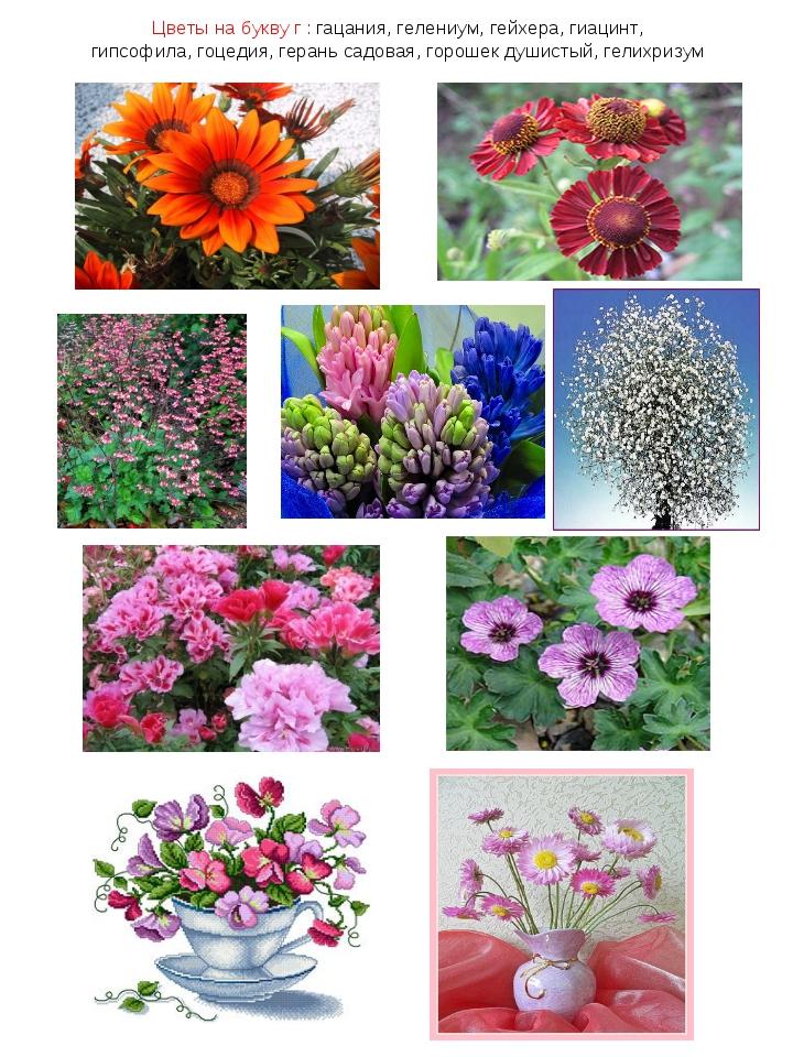 Цветы на букву г : гацания, гелениум, гейхера, гиацинт, гипсофила, гоцедия, г...