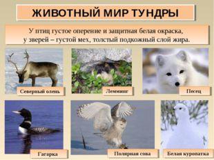 ЖИВОТНЫЙ МИР ТУНДРЫ У птиц густое оперение и защитная белая окраска, у зверей