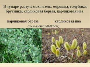 В тундре растут: мох, ягель, морошка, голубика, брусника, карликовая берёза,