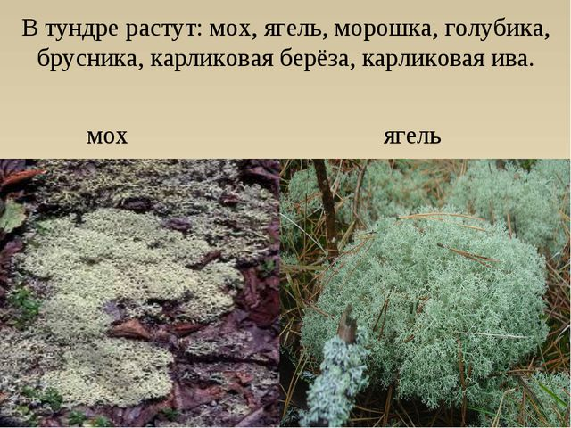 В тундре растут: мох, ягель, морошка, голубика, брусника, карликовая берёза,...