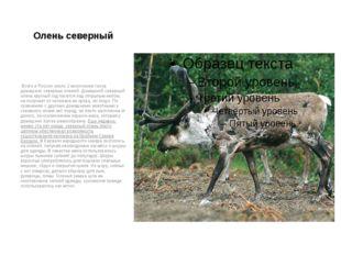 Олень северный Всего в России около 2 миллионов голов домашних северных олене