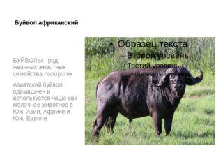 Буйвол африканский БУЙВОЛЫ - род жвачных животных семейства полорогих Азиатск